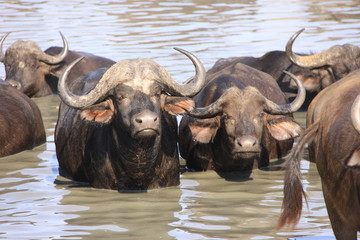 Cape Buffalo in waterhole
