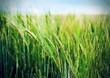 Field of wheat. Shallow depth-of-field