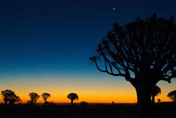 Köcherbäume im südlichen Afrika - Abendlicht