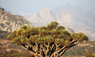 Dragon tree with Socotra mountains background