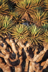 Spiky leaves of Dragon tree - Dracaena cinnabari - Socotra