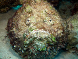 Fotoroleta Stonefish