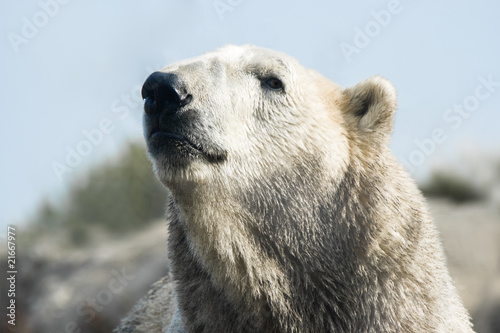 Polar bear lifting head