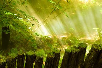 Sunbeams trough a mist forest
