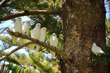 group of  white parrot