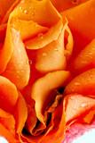 Fototapeta piękny - uroda - Róże