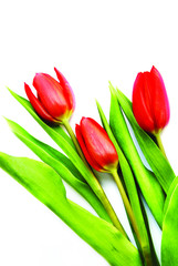 three red tulip