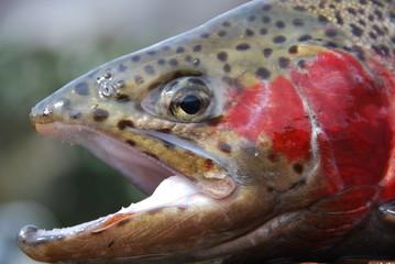 Lachsforelle ( Salmon Trutta trutta )