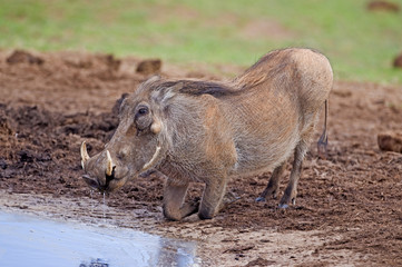 A thirsty Warthog kneels at the water