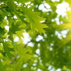 Green oak leaves