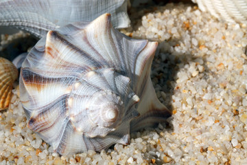 Whelk (Busycon contrarium) sea shell
