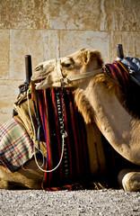 Camel, Syria