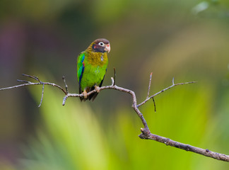 Brown-hooded Parrot in a branch.