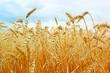Ripe gold wheat field