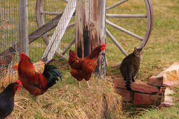 Three chickens and a cat