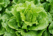 The lettuce grown in vegetable plots