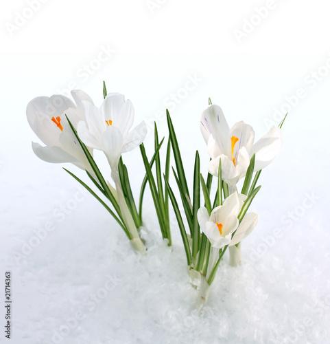 Keuken foto achterwand Krokussen snowdrop