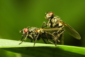 Flies matting (Muscidae Domestica), macro