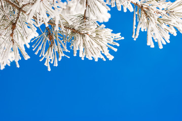 Pine branches in the snow