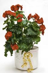Begonia una planta ornamental