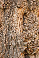 Background of bark of Black Locust, Robinia pseudacacia, closeup