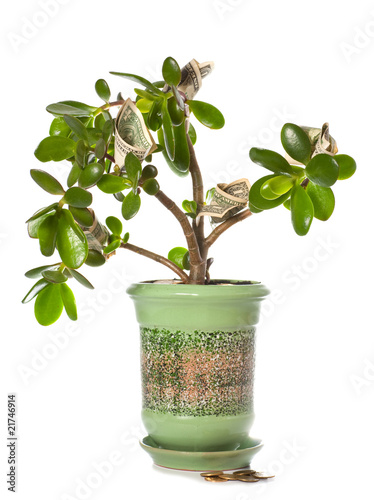 Jade plant with dollar bills isolated on white (blossoming money