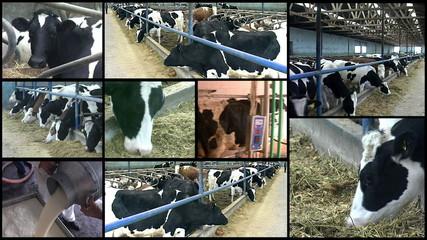 Dairy Farm Cows - Montage
