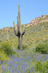 Saguaro among the wildflowers