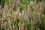 White heather - Calluna vulgaris