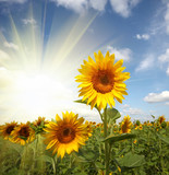 sunflower field under blue sky-