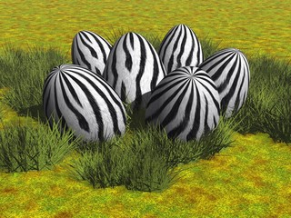 Zebra-Eier