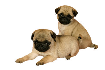 Two puppy pug on white background.
