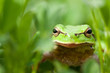 Little green frog
