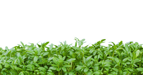 Fresh green cress