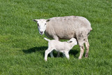 thirsty Young lamb nursed by his mother poster