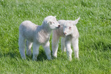 Satisfied Young lambs in the pasture at springtime poster