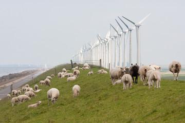 Grazing sheep near windmills along a dutch dike