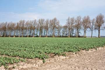 Field of tulips in the netherlands, waiting for blooming