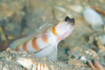 Magnus' shrimp goby
