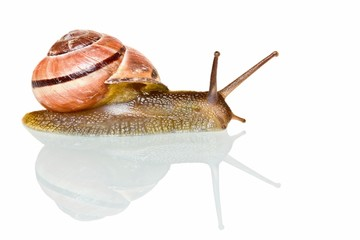 Garden snail in front of a white background