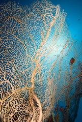 Soft coral sea fan with blue background