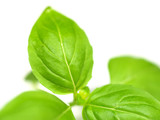 Green basil leaves on white background