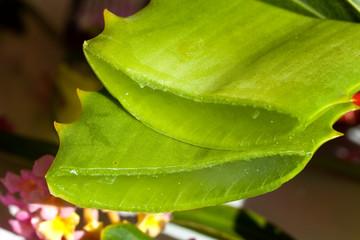 Aloe Vera - angeschnitten