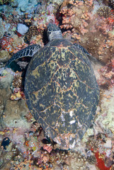 above view of a Hawksbill turtle
