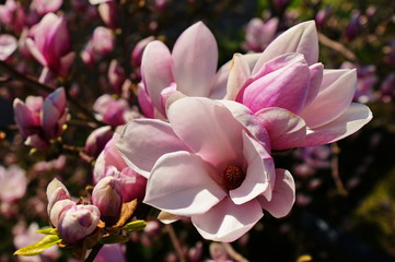 Magnolia flowers.