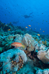 Tropical Coral Sea and divers