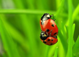 Two ladybugs lovers