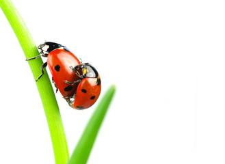 Beautiful ladybugs being mate on green leaves