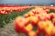 Orange and Yellow tulip field