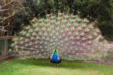 Fototapeta ptak - ogon - Ptak